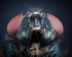 (stmlphoto) Tags: extreme macro fly nikon cfi mrl00102 stack