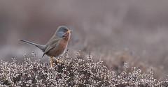 Dartford Warbler (KHR Images) Tags: dartfordwarbler sylviaundata warbler rare dartford heath suffolk eastanglia wild bird wildlife nature nikon d500 kevinrobson khrimages