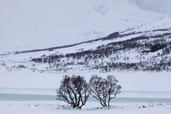 Two Trees (Joost10000) Tags: landscape landschaft tree trees winter snow ice river white nordland norway norge noorwegen norwegen outdoors natur nature scenic beauty wild wilderness europe lapland canon canon5d eos mountain unnstad