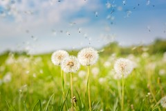 Springtime magic (icemanphotos) Tags: dandelion nature plant spring magical dreamy inspire