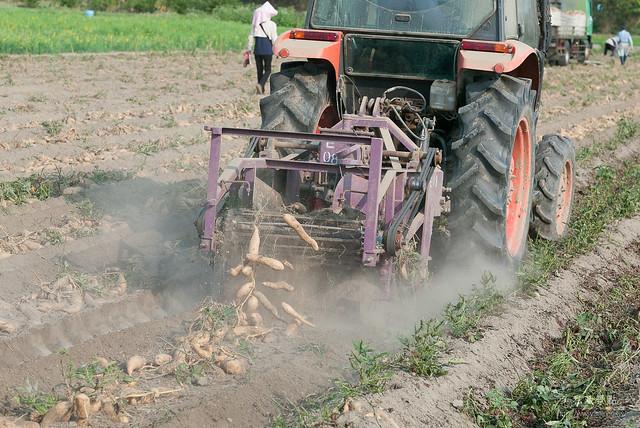 原來地瓜是這樣採收,還有人專門撿剩下的蕃薯(8)