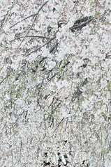 A passage to the next season (Otaka*) Tags: spring april white blight shrine flowers cherryblossoms 枝垂桜 さくら 桜 サクラ