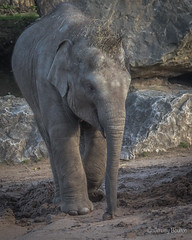 Certain amount of mischief (JKmedia) Tags: asian elephant boultonphotography 2018 february chesterzoo close animal trunk indian hiwayherd baby calf dirty soil sand brown sibling drinking pool water curly young mop straw hairy