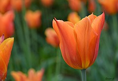 Thursday`s Flower (Eleanor (No multiple invites please)) Tags: tulip orangeflower goldershillpark london nikond7100 april2018
