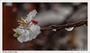 Brotes primaverales / Spring shoots (José María Gómez de Salazar) Tags: primavera agua lluvia flor flores árbol ramadeárbol lluviaprimaveral flordelalbaricoque albaricoque spring water rain flower flowers tree treebranch springrain apricotblossom apricot macrophotography