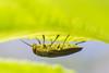 Lined Buprestis (Buprestis lineata) (acryptozoo) Tags: linedbuprestris buprestislineata arthropoda insecta beetle beetles coleoptera polyphaga elateriformia buprestoidea buprestidae metallicwoodboringbeetle buprestinae buprestini buprestis