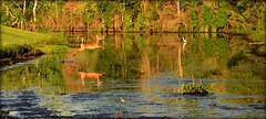 Grace In Motion (gatorgalpics) Tags: deer run earlymorning goldenhour sweetwaterwetlandspark explore129 httpwwwfluidrcomphotos10326501n0240130900990 httpsbighugelabscomscoutphp