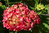 Hortensia (petrk747) Tags: hortensia mallorca balearicislands alcúdia spain flora flower flowers nature red green coast garden outdoor nikond500 nikon image photo composition
