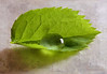 Jagged Leaf ... (MargoLuc) Tags: macromondays theme jagged green rose leaf drop natural light shadows macro