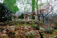 Zoo di Pistoia (FeDesigns) Tags: animale lupo