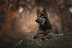 Puppy love (Dogstar_photography) Tags: canon eos 5d mark iv ef85mm f18 usm cute dog puppy sheppard