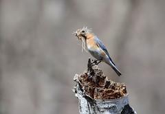 Eastern Bluebird (av8s) Tags: easternbluebird bluebird birds perchingbirds songbirds nature wildlife pennsylvania pa photography nikon d7100 sigma 120400mm