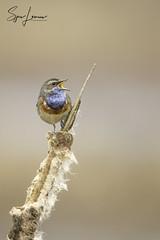 blauwborst-21136 (Sjors loomans) Tags: nature natuur bird birds natuurfotografie outdoor vogel wildlife sjors loomans holland blauwborst bluethroat luscinia svecia songbird