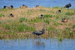 El Remolar, Delta del Llobregat (Virginia Giné) Tags: mar18 elremolar deltadelllobregat barcelonès barcelona nikon ocells moritocomún