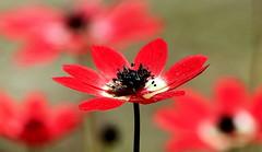 ~ 💖~ (ᙢᗩᖇᓰᗩ ☼ Xᕮᘉ〇Ụ) Tags: orthodoxeaster wishes peace love frieden liebe ειρηνη αγαπη πασχα ανασταση ελπιδα αισιοδοξια κατανυξη αναταση ευχεσ μεγαληεβδομαδα wildflower anemone red windflower windblume nature natur redanemone κοκκινηανεμωνη αγριαανεμωνη αγριολουλουδο macro makro bokeh ανοιξη ψυχικήανάταση αναγέννησητησφύσησ αυτογνωσια πνευματικηαναταση πορειαζωησ σταυρωση ελλαδα πασχα2018 καθετελοσμιααρχη april celebration feiertag heart herz auferstehungdesgeistes mindresurrection πνευματικηανασταση ᙢᗩᖇᓰᗩ☼xᕮᘉ〇ụ physis