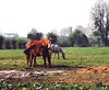 Ireland.  April 13th-19th. 2003 (Cynthia of Harborough) Tags: 2003 animals fields hay hedges horses trees views
