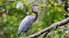 Great Blue Heron - Ardea herodias (jaytee27) Tags: greatblueheron ardeaherodias costarica naturethroughthelens