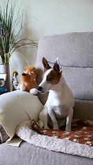 Tyson in residence (Keith Coldron) Tags: sofa tyson cushion dog toy