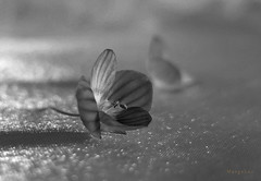 *°°°* (MargoLuc) Tags: two little flowers spring blue bokeh table natural light shadows monochrome bw stilllife silk
