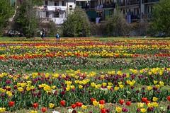 Tulipani a Scandicci