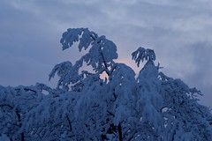 Cold Spring Morning (The Good Brat) Tags: colorado us snow storm sunrise morning cold trees sky