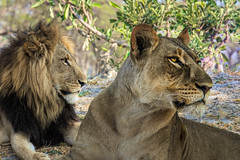 Royalty (PhilHydePhotos) Tags: africa botswana kuando kwando lagooncamp okavangodelta safari wildlife animalplanet lion lioness