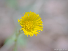 20180401-P4011372.jpg (wketsch) Tags: trees olympus graz flowers pet forest dog pug eastern leechwald spring pup