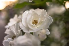 Rose 'Summer Snow' raised in USA (naruo0720) Tags: rose americanrose summersnow 薔薇 バラ ばら アメリカのバラ サマースノー