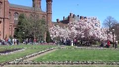 Magnolia trees in bloom in Smithsonian Museum's Enid A. Haupt Garden, March 31, 2018 (lhboudreau) Tags: magnolias washington dc washingtondc flower flowers blossom blossoms magnolia magnoliatree magnoliatrees smithsonian museum smithsonianmuseum smithsonianinstitution garden gardens floweringtree floweringtrees enidahauptgarden 2018 tree trees people grass park bench benches stroller strollers building smithsoniancaslte video videos bloom blooms districtofcolumbia