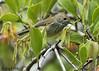 Brown Thornbill (Acanthiza pusilla) (Greg Miles) Tags: brownthornbill acanthizapusilla scottshead gaagalwanggaannationalpark newsouthwales australia
