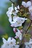 "Cherry Blossom ""Somei Yoshino"", Oakland, California, USA (takasphoto.com) Tags: apsc alameda alamedacounty america angiosperms bayarea berkeley bloom blossom blüte california californiastate cerasus×yedoensis cherryblossom eeuu eastbay estadosunidos flor flower floweringplant fuji fujixt1 fujixt1fujifilm greenplants hoa kingdomplantae mirrorless mirrorlesscamera nature norcal northamerica northerncalifornia oakland outdoor plantae portofoakland prunus×yedoensis sfbayarea sfbay sakura sanfrancisco sanfranciscobayarea someiyoshino sustainability usa unitedstates unitedstatesofamerica westcoast westoakland xt1 xtranscmosii xtransii xochitl yoshinocherry 北カリフォルニア 北米 奥克兰 有花植物 染井吉野 桜 桜の木 植物 港湾都市 王府 米国 美国 自然 花 花卉 被子植物 西海岸 오클랜드"