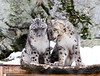 Awww (nhpanda (always trying to catch up....)) Tags: zoonewenglandstonezookirasnowleopard himal snow leopard