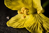 Don't yell at me...! (Altazur) Tags: 7dwf flora macro abstract stamen petal yellow flower