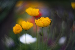 _DSC0597 (kymarto) Tags: bokeh bokehlicious bokehphotography dof depthoffield flowers flowerphotography nature naturephotography beauty beautiful sony sonyphotography sonya7r2 oldlens vintagelens poppies yellow