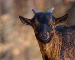 A smile for the camera ! (FocusPocus Photography) Tags: ziege goat tier animal portrait lächeln smile lächelt smiling
