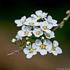 Spirée. (musette thierry) Tags: fleur blanche avriel belgique belgium hainaut wallonie musette thierry d800 nikon 90mm28 printemps flower flowers macro