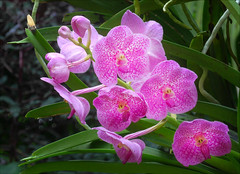 Pink Orchid (kate willmer) Tags: pink flower orchid light garden botanical singapore