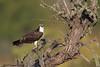 Osprey with snack - IMG_8503 (arvind agrawal) Tags: osprey fish snack wildlife raptor eagle canon eos1dx 600mm 1200mm arvindagrawal