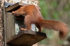 Help!!! Ive got me head stuck! (ashperkins) Tags: wackyweekends redsquirrel anglesey wales ashperkins