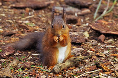 Red Squirrel (eric robb niven) Tags: ericrobbniven redsquirrel wildlife nature dundee scotland springwatch