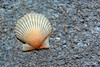 Single Scallop Seashell - Clearwater Beach, Florida (J.L. Ramsaur Photography) Tags: jlrphotography nikond5200 nikon d5200 photography photo clearwaterbeachfl centralflorida pinellascounty florida 2013 engineerswithcameras sandkey photographyforgod thesouth southernphotography screamofthephotographer ibeauty jlramsaurphotography photograph pic beach ocean gulfofmexico water blue clearwaterfl sand waves rocks blueoceanwater tennesseephotographer shell seashell scallop macro macrophotography closeupphotography closeup dof depthoffield nature nature'spaintbrush naturesbeauty god'sartwork hdr worldhdr hdraddicted bracketed photomatix hdrphotomatix hdrvillage hdrworlds hdrimaging hdrrighthererightnow upclose scallopseashell