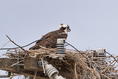 Sleepy female Osprey