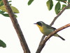 Common Yellowthroat 01-20180410 (Kenneth Cole Schneider) Tags: florida miramar westmiramarwca