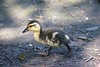 Baby Mallard (ekaterina alexander) Tags: duckling mallard duck spring ekaterina alexander wild nature photography pictures england sussex water bird