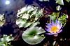 水中月 (parrot0901) Tags: lotus water moon sun pond leaves reflection 蓮花 vivitarseries12890mm