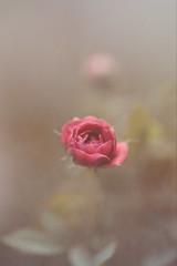 Emerging from the world of Bokeh.... (vanila balaji) Tags: buttonrose pink vanila vanilabalaji canon canon6d 100mmmacrof28l