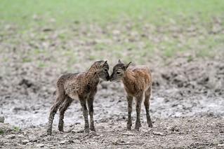 Bébés mouflons de Corse