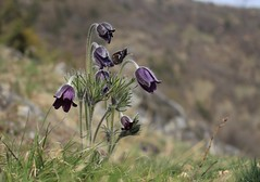 pulsatilles (bulbocode909) Tags: valais suisse fleurs pulsatilles montagnes nature printemps vert