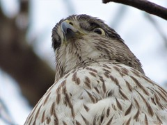 Cooper's Hawk (Anton Shomali - Thank you for over 1 million views) Tags: coopershawk coopers hawk accipitercooperii accipitriformes ‎accipiterphylum‎ ‎chordata species bird bigbird crowsized birdeating prey longtails nature eyes nose hair feather