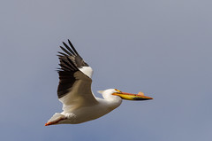 American White Pelican (janelle.streed) Tags: americanwhitepelican pelican pelecanuserythrorhynchos birds animals wildlife nature outdoors minnesota